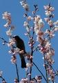 桜もう開花