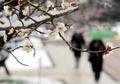 梅の花が雪化粧