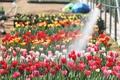 Printemps et tulipes