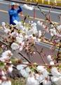 済州島で桜開花