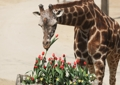 Une girafe et des tulipes
