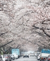 雨に煙る桜並木