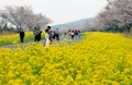 桜と菜の花の美しい競演