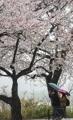 雨の日の花見