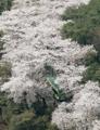 Camino con flores de cerezo