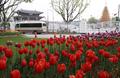 Tulipes dans le centre de Séoul