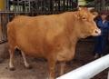 体重1トンの巨大牛