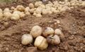 Patatas podridas por la ola de calor