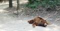 El calor asa al oso