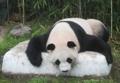 Panda sobre el hielo