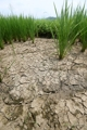 Rice paddy scorched dry from drought