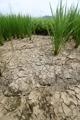 Un arrozal abrasado por la sequía
