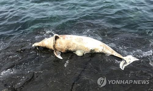 서귀포시 영락리 해안서 돌고래 사체…부패해 매몰처리
