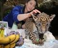 ジャガーの赤ちゃん 生後100日