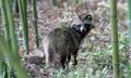 태화강 대숲 야생 너구리 이주작전…서식 공간 좁고 개체 많아