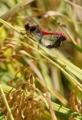 Pareja de libélulas