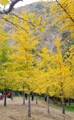 Hojas amarillas en Hongcheon