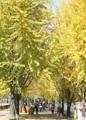 Tonalidad dorada de los árboles de 'ginkgo'