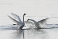 冬の渡り鳥が優雅な舞い