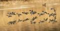 川面を飛ぶコガモ
