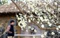 南の島で梅開花