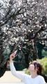 Florecen los ciruelos