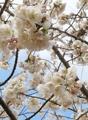 Cerisiers en fleurs à Jeju