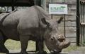지구 마지막 '북부 흰코뿔소' 수컷 죽어…멸종 수순(종합)