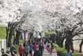 Cerisiers en fleurs à Jamsil