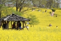 حقل زهرة الكانولا الصفراء في غوتشانغ