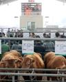 Cattle market reopens after FMD outbreak