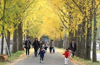 괴산 문광저수지 '명품 은행나무길' 가을을 입다