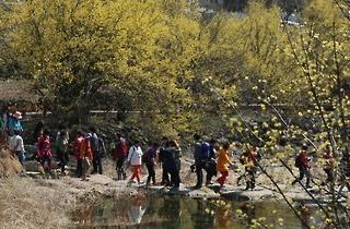 구례 산동면 일대서 내달 18∼26일 '산수유꽃축제'