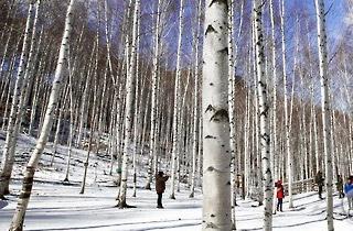 '순백의 세상' 인제 자작나무숲 내달 20일까지 연장 개방
