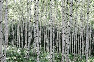인제 자작나무숲 황금연휴 맞아 3일 조기 개방