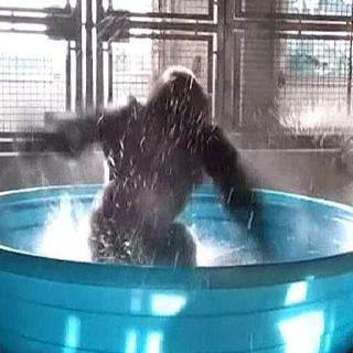 [현장영상] 사람보다 낫다…고릴라의 화려한 댄스 실력