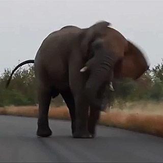 [토픽영상] 도로 점령한 들개떼…코끼리 나타나더니 '저리 비켜'
