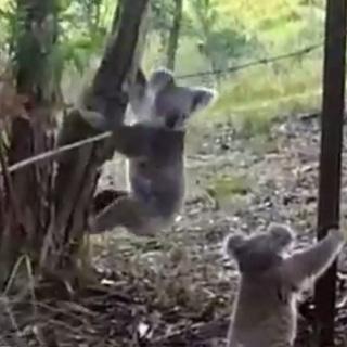 [현장영상] 철조망에 걸린 새끼 코알라를 구한 '모정'
