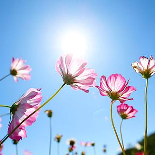 [포토무비] 파란하늘, 흰구름 그리고 코스모스…가을 수채화