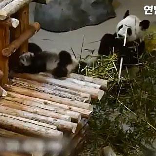 [토픽영상] 넘어지고 구르고…쌍둥이 새끼 판다의 '좌충우돌' 동영상