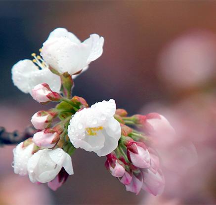봄비와 벚꽃