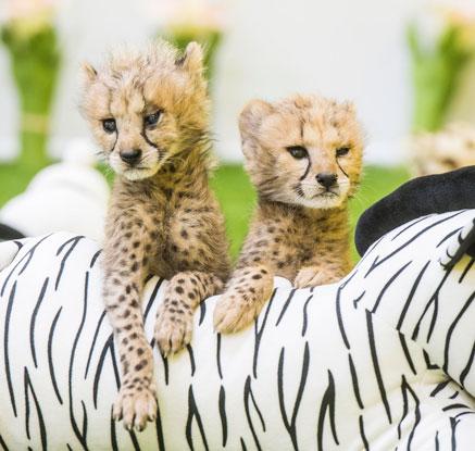 생후 40여일 된 아기 치타 한쌍