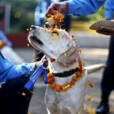'개나 소나' 행복한 축제…동물숭배 '티하르'