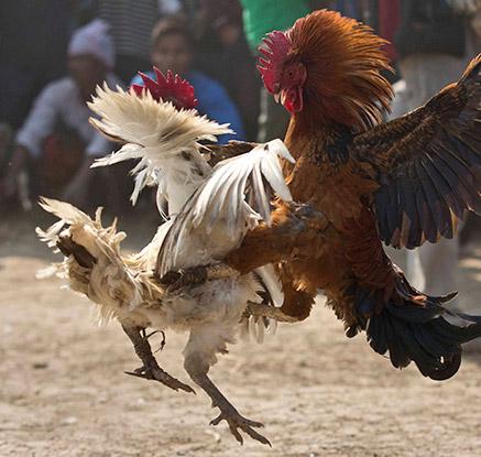 한 치 양보 없는 닭들의 싸움