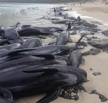 들쇠고래 153마리 호주 해안서 '의문의 떼죽음'