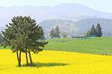 [주말 N 여행] 제주권: 한라산은 온통 노란 유채꽃 세상