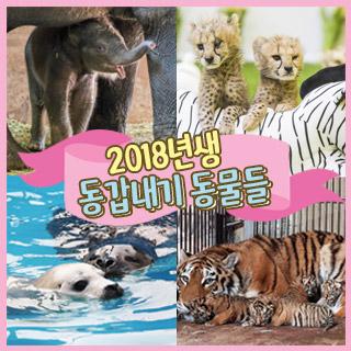 [포토무비] 백두산 호랑이·코리·치타 등 '2018년생 동갑내기' 동물들