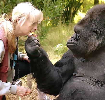 몸짓언어 터득한 고릴라 '코코' 46살에 자연사