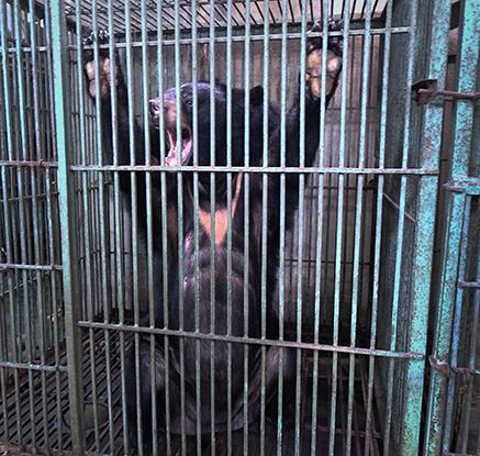 '웅담 채취용'…베트남 불법 곰 농장에서 구조된 곰
