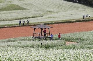 고창 청보리밭의 변신…50만㎡ 흐드러진 '메밀꽃잔치' 22일 개막